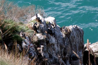 Oiseaux marins nidifiant
