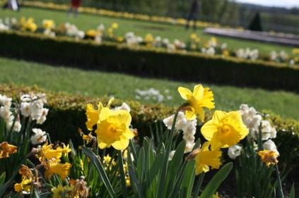 Grand Trianon, jonquilles du jardin à la française
