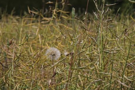 Pissenlit dans les champs