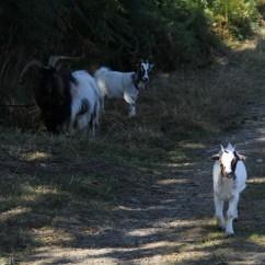 Zéphyr le bouc, Minnie la chèvre naine et leur fille née en mars