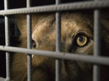 Disattesa la mozione approvata in Consiglio, del consigliere D'Asta, per il divieto di spettacoli circensi con animali selvatici ed esotici
