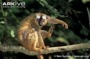 Female-red-fronted-lemur-grooming