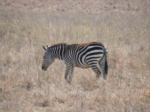 Zebra, Nairobi National Park