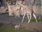 reticulated giraffe and Speke's gazelle