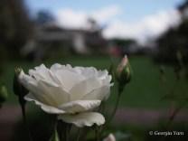 white rose & house