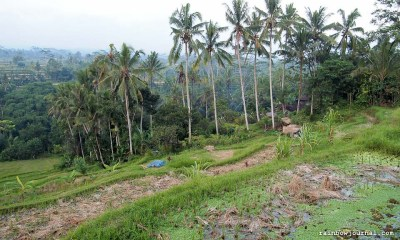 These rice paddies are in serious threat due to the influx of tourists to Bali