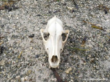 A dog (?) skull we chanced upon at Tandoyong Island