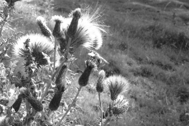 Week 51: This was taken near St Beuno's in North Wales. I loved the way the sunlight was caught by the thistles.