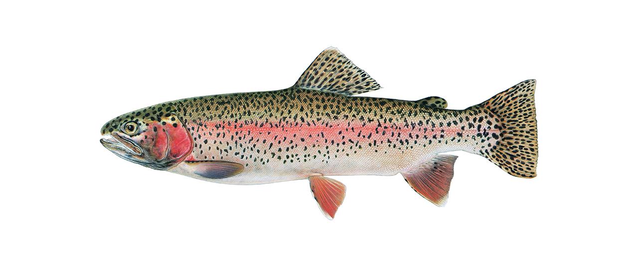 Rainbow Trout fishing at Rainbow King
