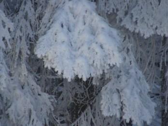 Ich liebe es, wie der Schnee an den Tannen hängt