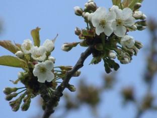 Blauer Himmel, weiße Blüten und grüne Blättchen