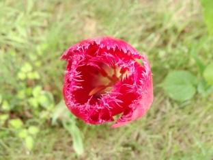 Einsame Tulpe mitten im Gelände - da hat wohl jemand seine Gartenabfälle abgeladen
