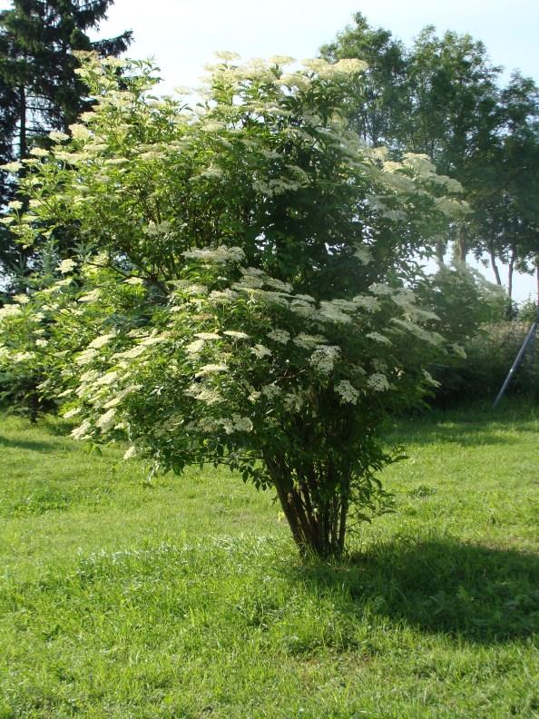 Kleiner Holunderbusch