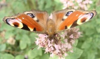 Dieser Schmetterling hat wirklich wunderschöne Farben...