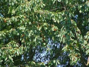 Wilde Kirschen hinter dem Haus... - leider steht er so ungünstig, dass nur die Stare Früchte davon haben...
