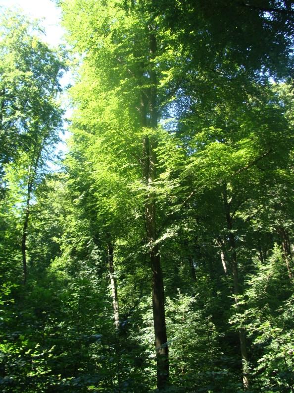 Einfach nur grüne Bäume im Sonnenlicht...