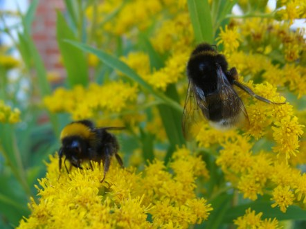 noch mehr Hummel hummeln hummeldumm auf der Goldrute rum - taumelnd von dem ganzen Blütenstaub...