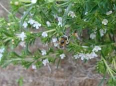 Bohnenkraut mit Bienchen.