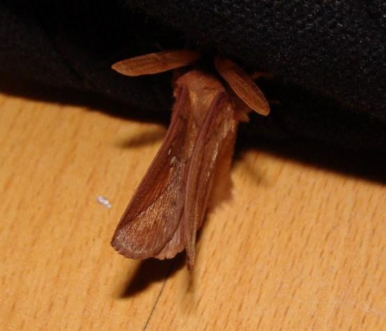 Das ist ein Männchen, das erkennt man an den großen Fühlern. Es sitzt bei der Tochter im Zimmer, fast unter der Schultasche...
