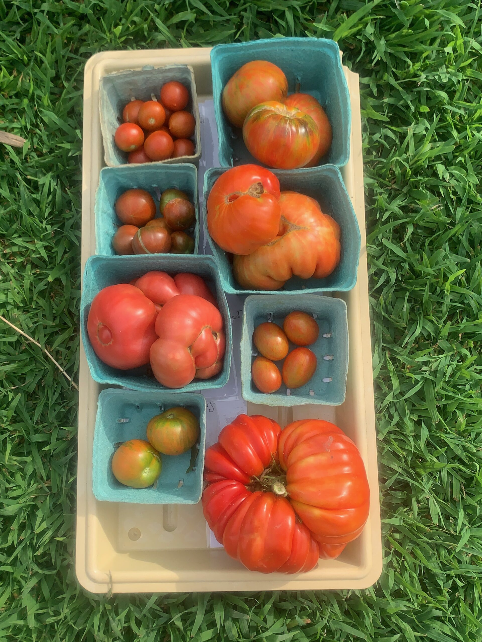 Image of a tray of tomatoes, all sizes from small to gigantic.