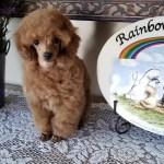 Nursery Rainbow Toy Poodles