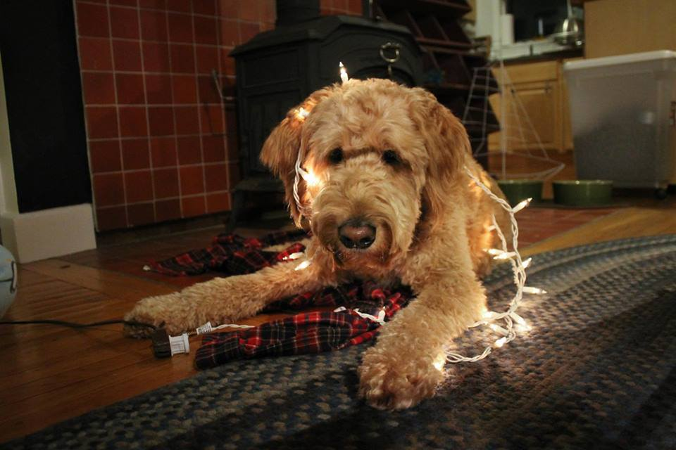Home - Rainfield Golden Doodles