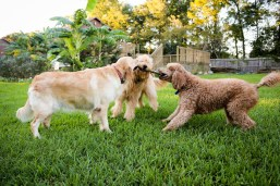 Goldendoodles sure love a good game of tug of war.