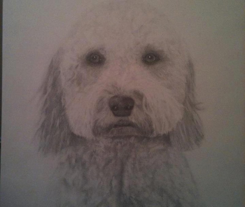 Goldendoodle in pencil