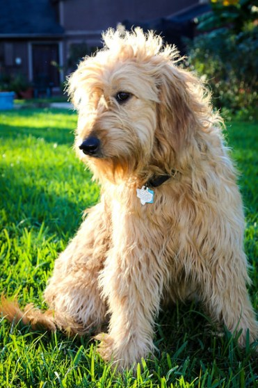 Celebrating 6 years with our wonderful goldendoodle, Willow