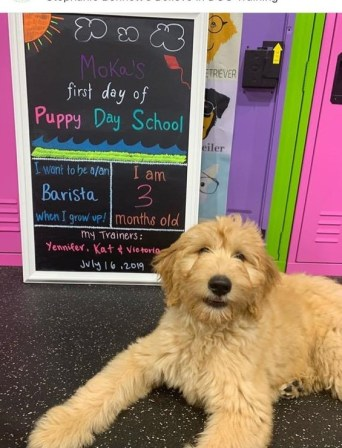 Moka, an F1 goldendoodle is the star of her puppy class. She'll be a barista in no time.