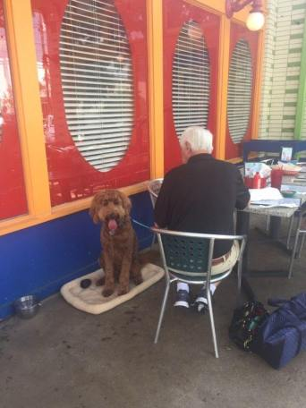 Albert, a red F1 goldendoodle, enjoying the Houston weather on the Chuys patio with dad.