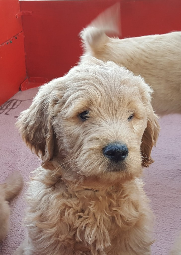 Shaggy goldendoodle puppy