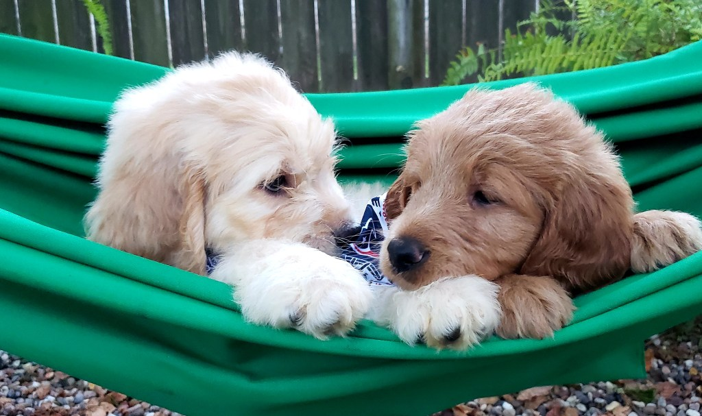 Two F1 Goldendoodle Pups Available