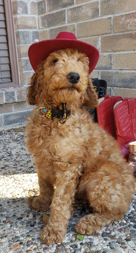 Dunn, the goldendoodle puppy cowpup.