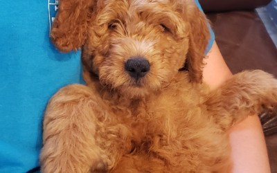 Adopt a Goldendoodle puppy this fall