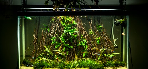 Grass Roots – 29 gallon freshwater planted aquarium