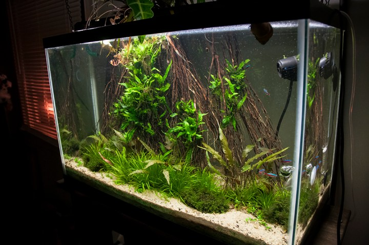 Grass Roots – 29 gallon freshwater planted aquarium