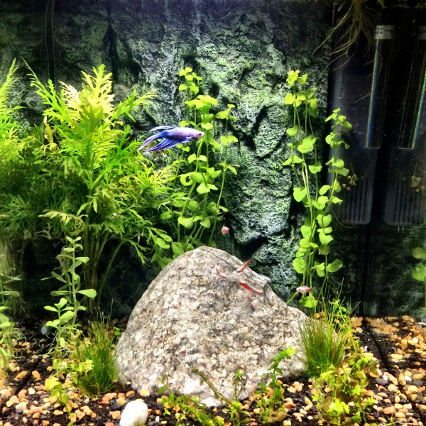 male betta fish in a freshwater planted tank