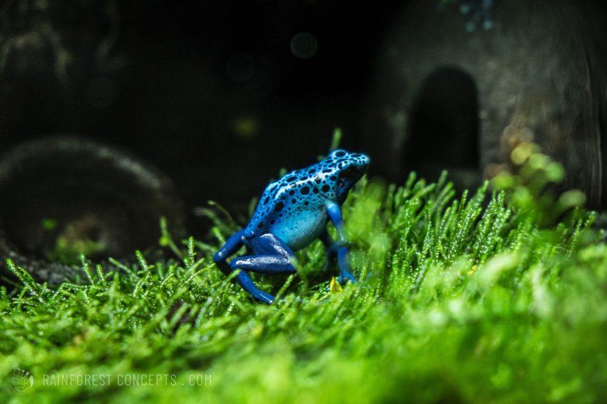 Dendrobates tinctorius azureus poison dart frog climbing over some tropical moss in a vivarium