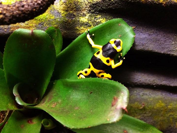 leucomelas poison dart frog
