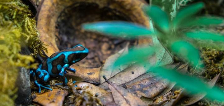 Dendrobates 'highland bronze' auratus poison dart frog