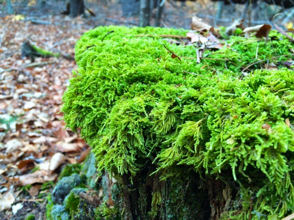 Lush temperate moss in the Freetown state forest in Massachusetts