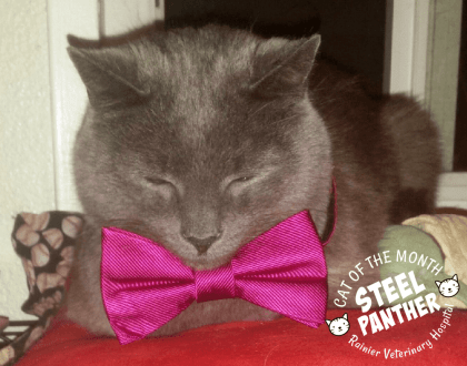 Rainier Veterinary Hospital Cat of the Month, September 2017: Steel Panther