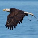 2. Bald Eagle
