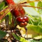 Cardinal Meadowhawk dragonfly (Sympetrum illotum)