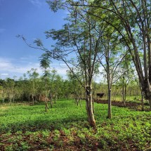 Photo of an intercropped section of Raintree Farms moringa tree plantation