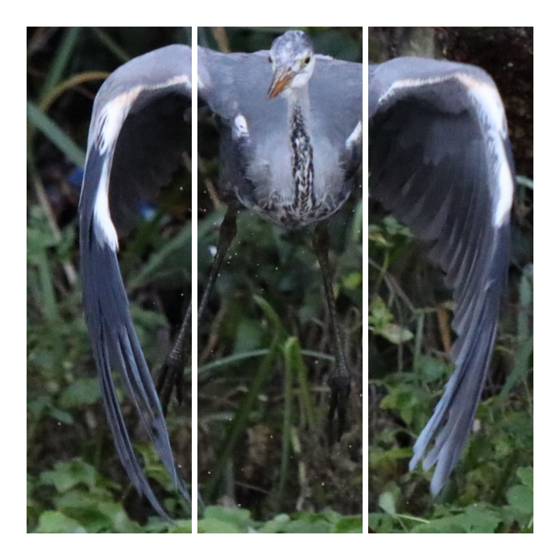The Grey Heron – capable fish catcher. Part 5