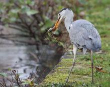 Grey Heron fishing