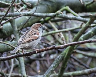 Pretty sparrow