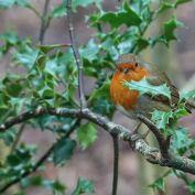 Robin going for Christmas pose